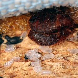 Bed Bug Adults near Bed Bug Eggs