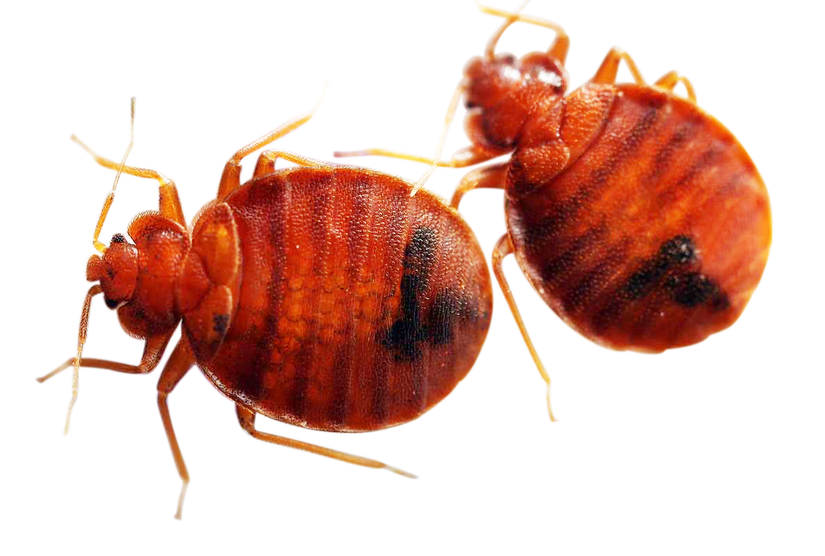 natural bed bug treatment bed bugs