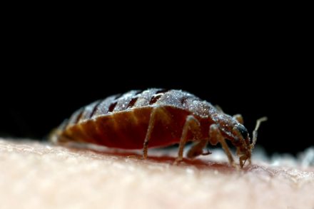 Bed bug getting a blood meal