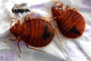 san francisco bed bug exterminator